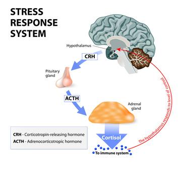 Hormonachse-Hypothalamus-Hypophyse-Nebennieren-Cortisol-Kortisol-Stress-Antwort-ACTH-Immunsystem